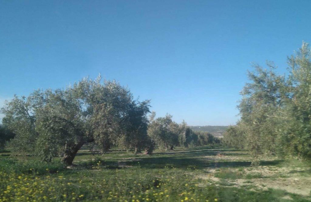 imagen 1 de Cortijo con 500 olivos ecológico en Letur