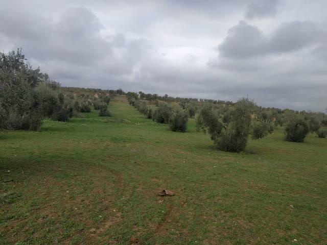 imagen 1 de Venta de olivar en Arroyo De San Serván (Badajoz)