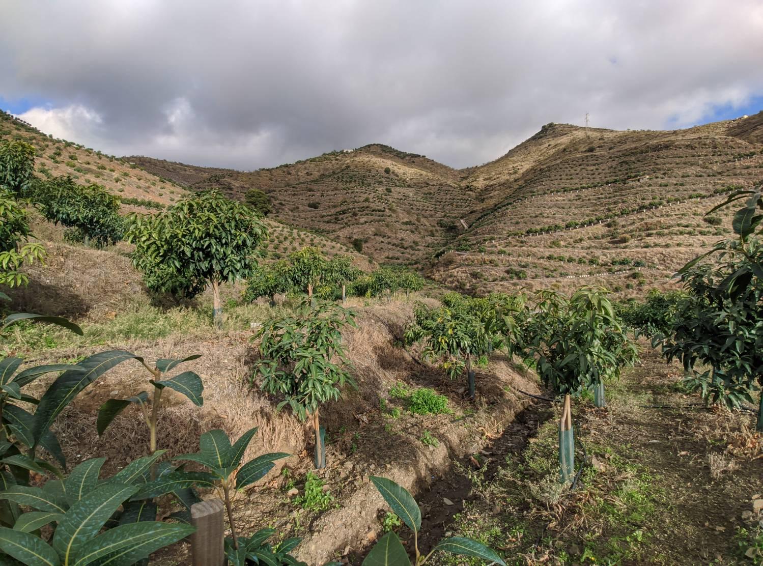 imagen 1 de Finca de mangos en Almuñécar (Finca de Banco)
