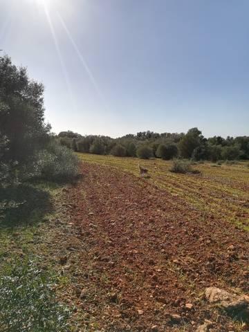 imagen 1 de Venta magnífica finca en Campos (Mallorca)