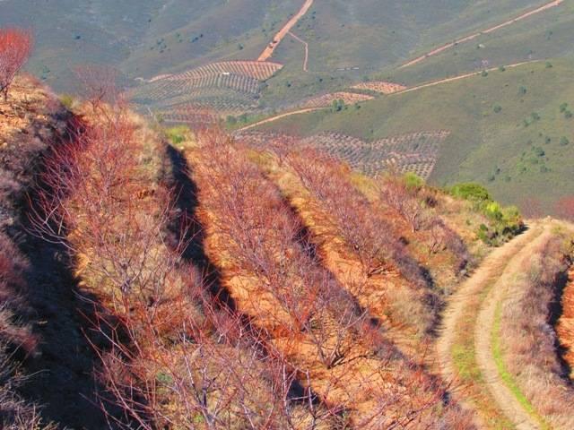 imagen 1 de Venta finca de cerezos en La Pesga (Cáceres)