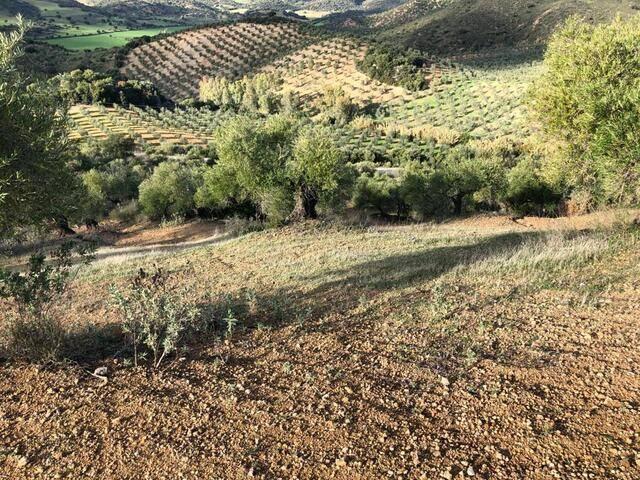 imagen 1 de Venta de olivar en Puerto Serrano (Cádiz)
