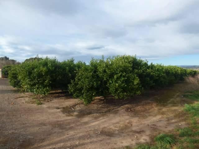 imagen 1 de Venta de preciosa finca de naranjos en Castellón de la Plana (Castellón)