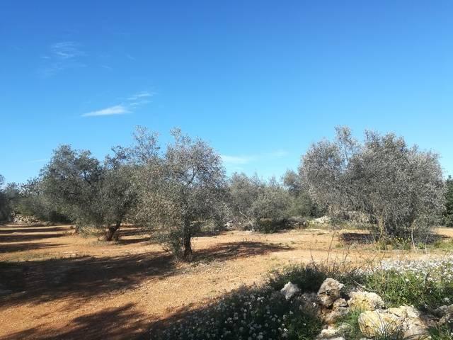 imagen 1 de Venta de fincas oliveras en Canet lo Roig (Castellón)