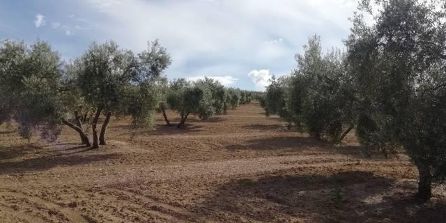imagen 1 de Venta de finca olivar en Bujalance (Córdoba)
