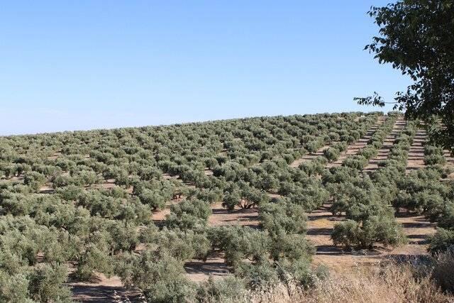 imagen 1 de Venta de magnífico olivar en Montilla (Córdoba)