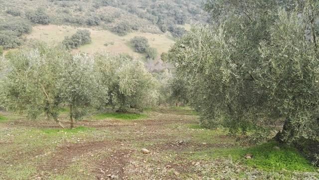 imagen 1 de Venta de olivar en Adamuz (Córdoba)