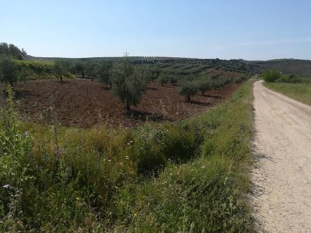imagen 1 de Venta de olivar en Montilla (Córdoba)