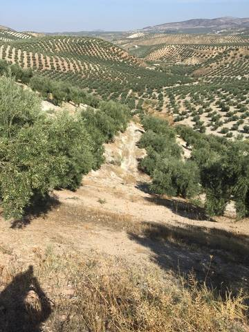imagen 1 de Venta de magnífico olivar en Priego de Córdoba (Córdoba)