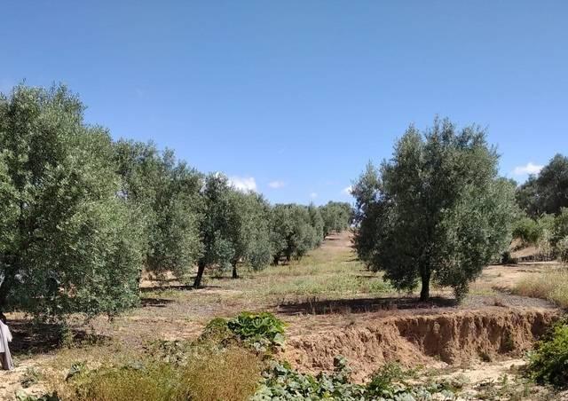 imagen 1 de Venta de olivar en autovía de Sevilla (Huelva)