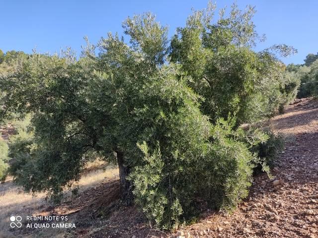 imagen 1 de Venta de olivar en Peñolite (Jaén)