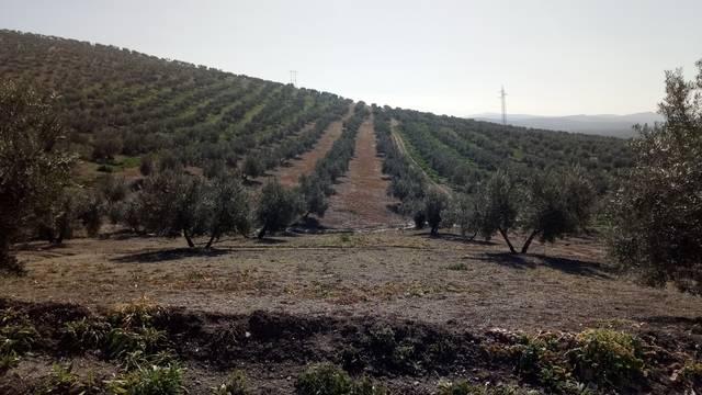 imagen 1 de Venta de finca olivar en Fuente del Rey (Jaén)