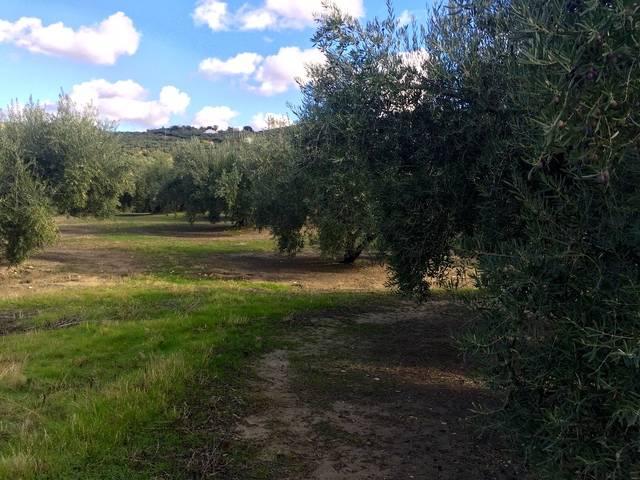 imagen 1 de Venta de campo olivar en Alcalá la Real (Jaén)