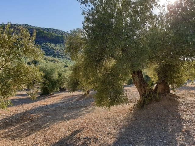 imagen 1 de Venta de olivar en Alcalá la Real (Jaén)