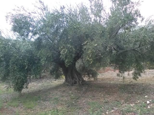 imagen 1 de Venta de finca olivar en Valdepeñas de Jaén (Jaén)