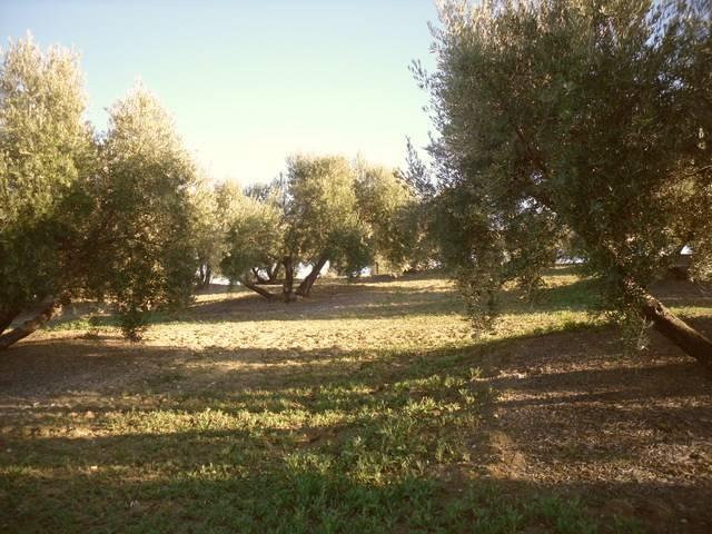 imagen 1 de Venta de campo olivar en Arjona (Jaén)