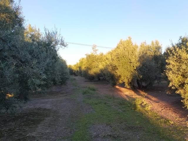 imagen 1 de Venta de finca olivar con cortijo en Rus (Jaén)