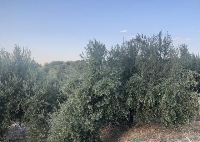 imagen 1 de Venta de finca olivar de regadío en Cazalilla (Jaén)