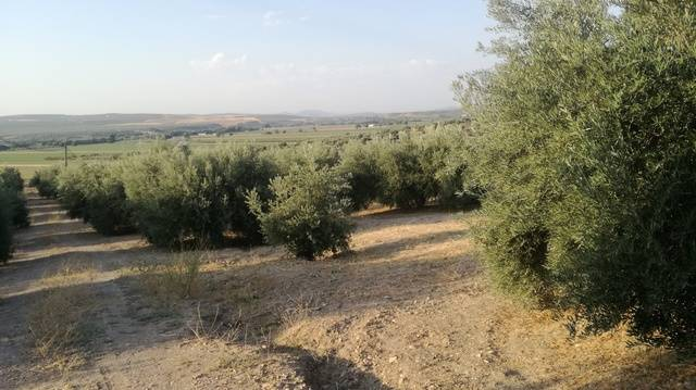 imagen 1 de Venta de campo de olivos en Torreblascopedro (Jaén)
