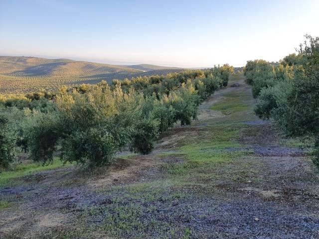 imagen 1 de Venta de olivar en Torre del Campo (Jaén)