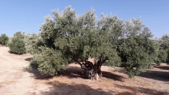 imagen 1 de Venta de finca olivar en Baeza (Jaén)