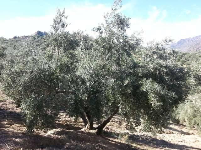 imagen 1 de Venta de olivar en Bélmez de la Moraleda (Jaén)