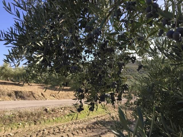 imagen 1 de Venta de finca olivar en Santiago de Calatrava (Jaén)