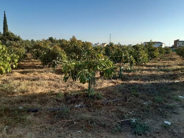 imagen 1 de Venta de finca de aguacates en Algarrobo (Málaga)