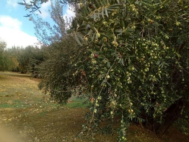 imagen 1 de Venta de estupendo olivar en Alcaucín (Málaga)