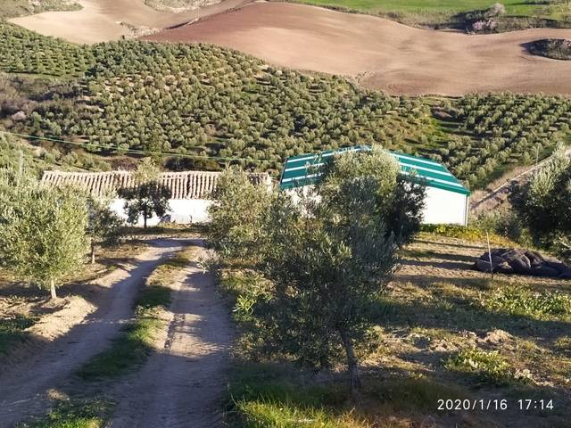 imagen 1 de Venta de campo olivar en Ronda (Málaga)