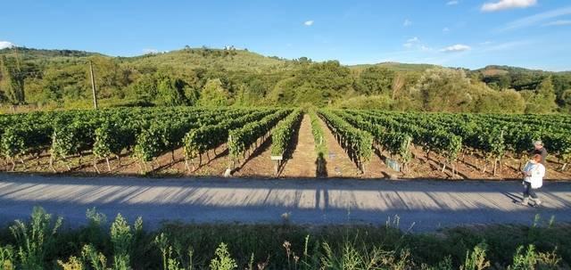 imagen 1 de Vendo viñedo en A Carballino