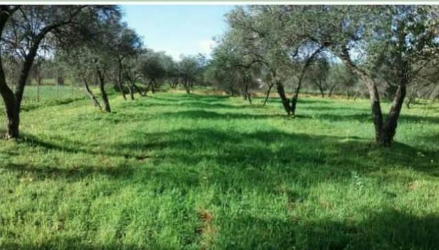imagen 1 de Venta de olivar en Pilas (Sevilla)