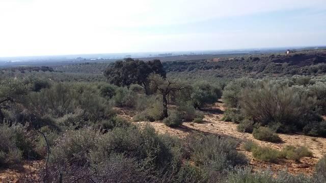imagen 2 de Venta de olivar en Alcolea del Río (Sevilla)