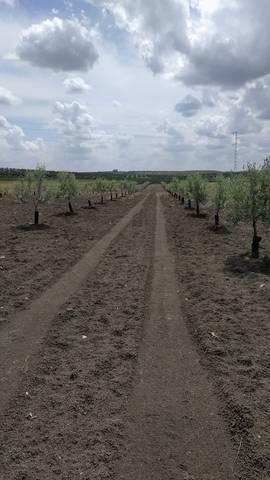 imagen 1 de Venta de finca de olivos vallada en Paradas (Sevilla)