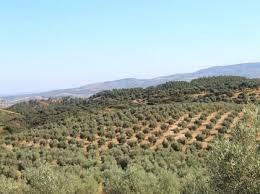 imagen 1 de Venta de finca de olivos edificable en Pilas