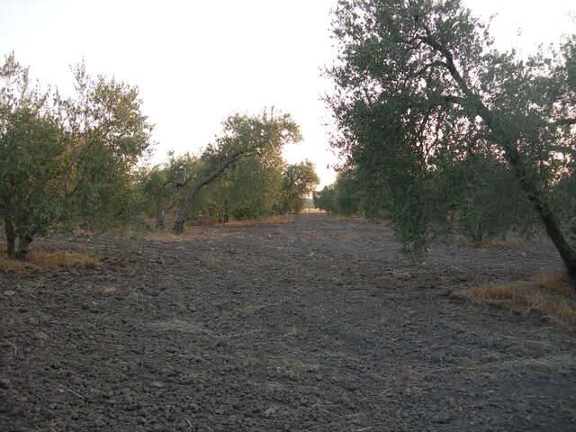 imagen 1 de Venta de olivar con buen acceso en Arahal