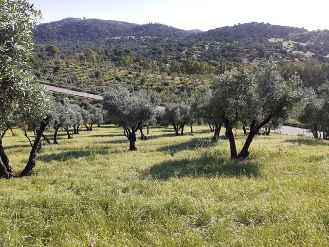 imagen 1 de Venta de olivar en El Pedroso (Sevilla)