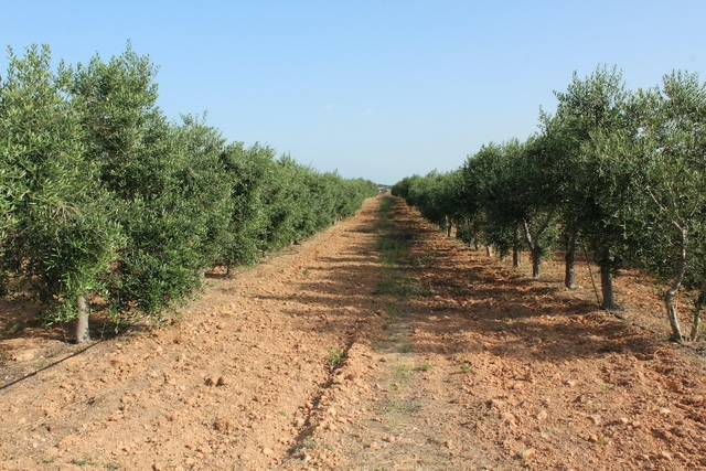 imagen 1 de Venta de bonita finca de olivos con casa Xerta