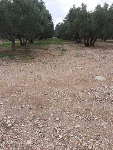 imagen 1 de Venta de olivar en La sénia (Tarragona)