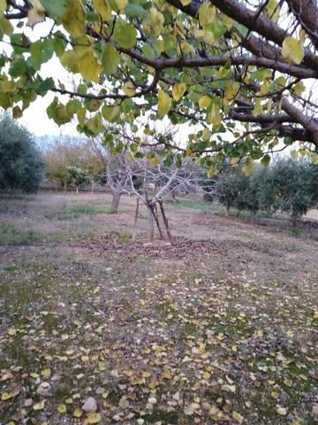 imagen 1 de Venta de finca de olivos a pie de carretera en Riudoms