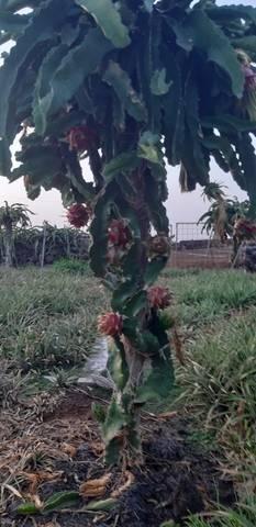 imagen 1 de Venta de finca de cultivo de piña tropical