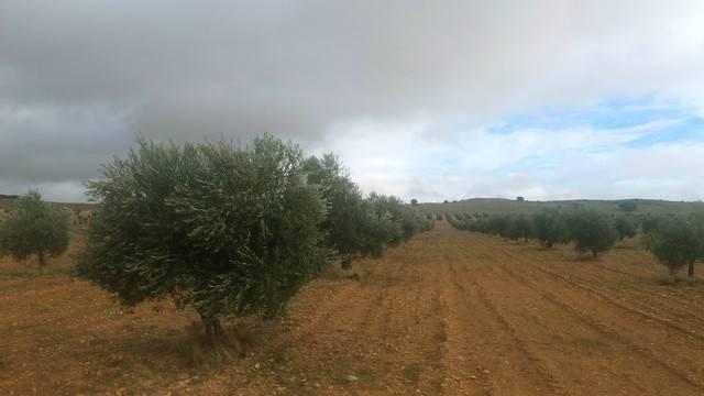imagen 1 de Venta de olivar ecológico de regadío en Toledo