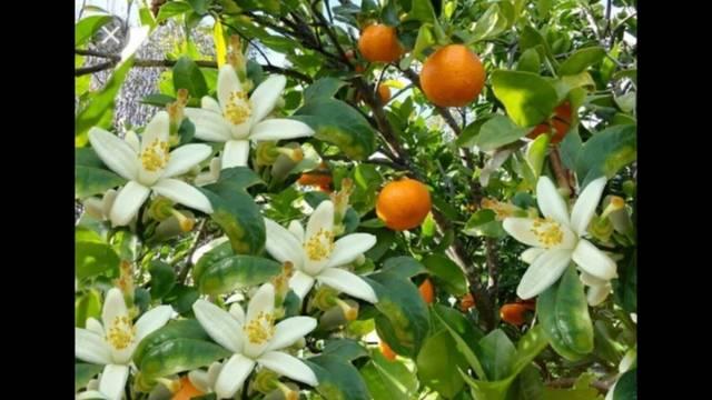 imagen 1 de Venta de finca de naranjos en Corbera (Valencia)