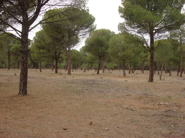 imagen 1 de Venta de finca con pinar y tierra de labor en El Campillo
