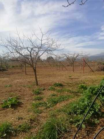 imagen 1 de Venta de finca de olivos con caseta en sa Pobla