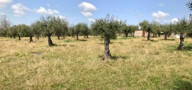 imagen 1 de Venta de olivar cercano a Cáceres