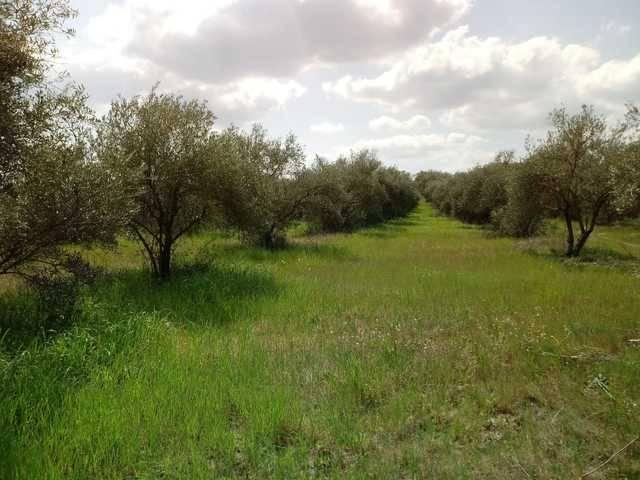 imagen 1 de Venta de finca de olivos en Hinojos (Huelva)