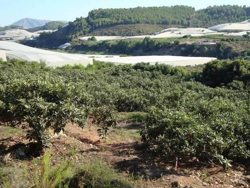 imagen 2 de Finca regadío nísperos y aguacates