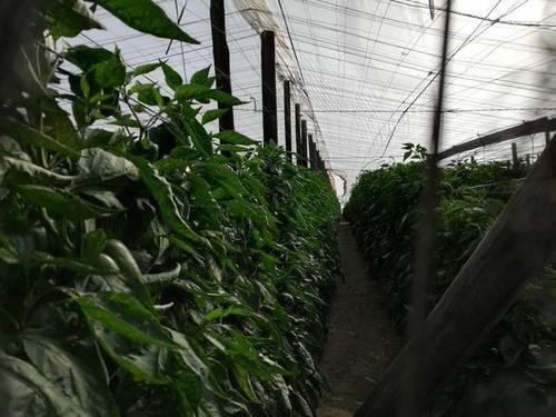imagen 3 de Invernadero Balerma El Ejido Almeria