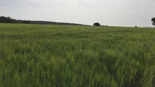 imagen 3 de Venta de finca agrícola y ganadera en Campillo De Llerena (Badajoz)
